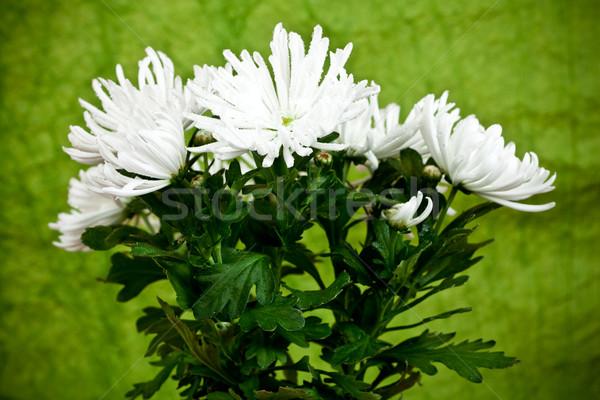 Krizantém virág növény természet levél háttér Stock fotó © marylooo