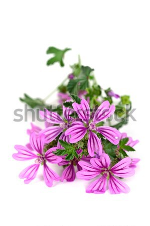 wild violet flowers Stock photo © marylooo