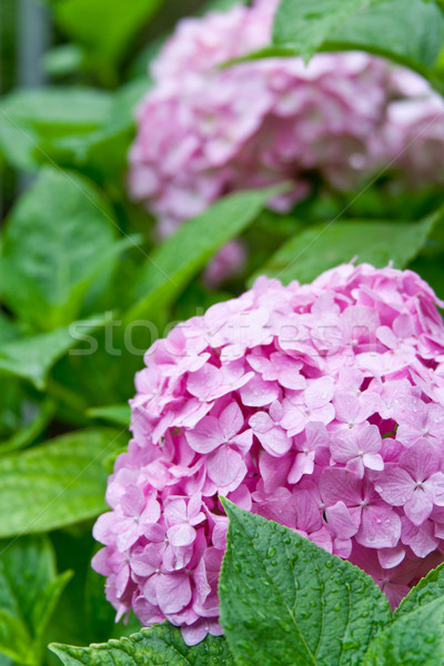 pink hortensia Stock photo © marylooo