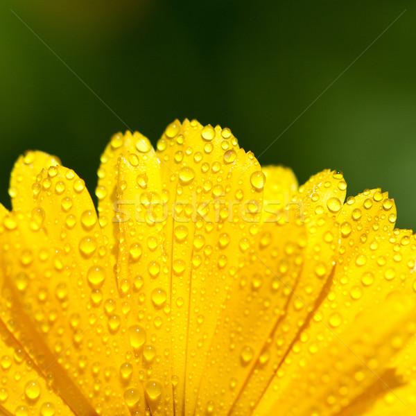 yellow gerber petals  Stock photo © marylooo