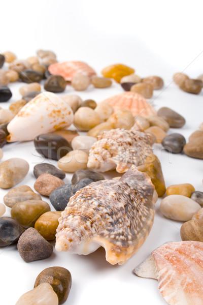 sea shells Stock photo © marylooo