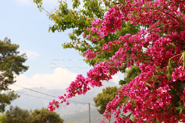 begonvil pink flowers on Kemer street Stock photo © MarySan
