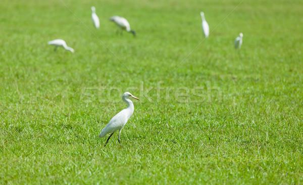 Wild herons Stock photo © Massonforstock
