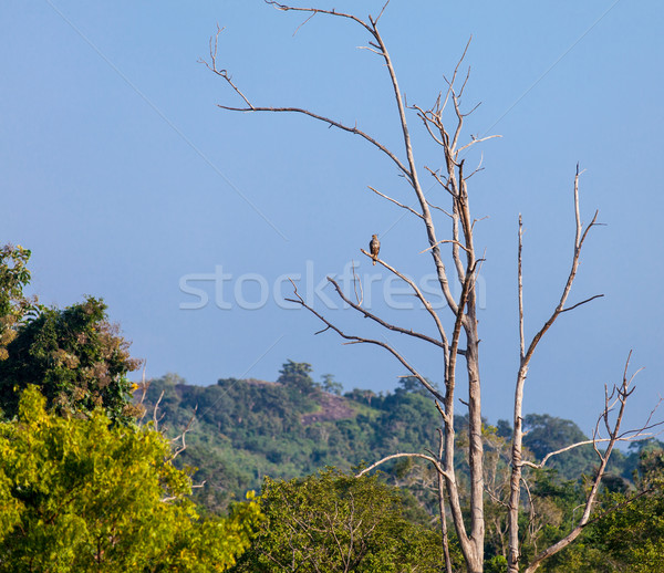 Stock photo: Wild falcon sitting on the branch