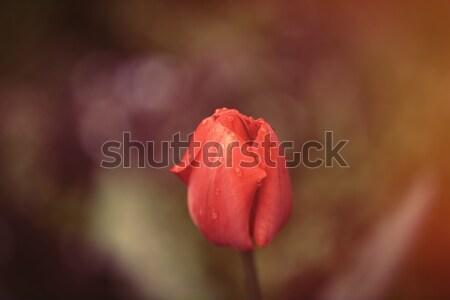Fotoğraf güzel kırmızı lâle harika Stok fotoğraf © Massonforstock