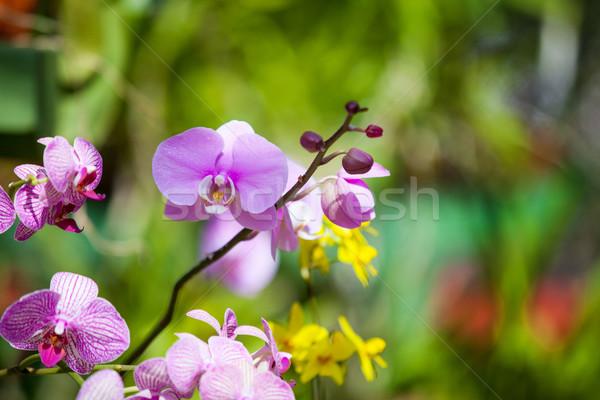 Bella orchidea fiore verde serra giardino Foto d'archivio © Massonforstock