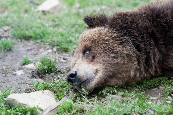 Europese bruine beer Oekraïne boom Stockfoto © Massonforstock