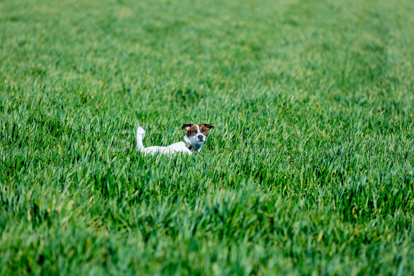 cute jack russel terrier standing on the grass in the beautiful  Stock photo © Massonforstock