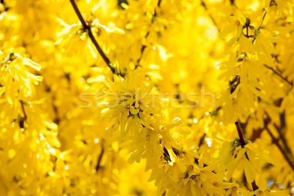 photo of beautiful yellow blooming Forsythia tree with wonderful Stock photo © Massonforstock