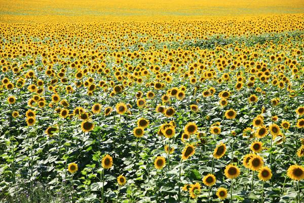 Napraforgók mező virág tavasz boldog nap Stock fotó © Massonforstock