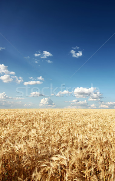 Wheat field at countryside. Stock photo © Massonforstock