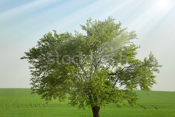 1 ツリー 麦畑 空 春 木材 ストックフォト © Massonforstock