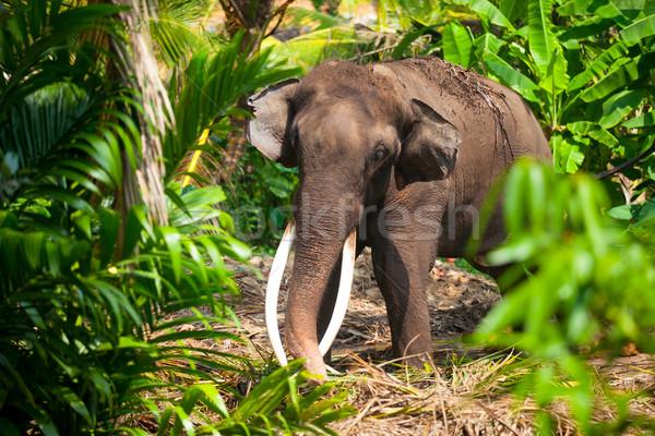 Solitaria elefante giungla Sri Lanka isola foresta Foto d'archivio © Massonforstock