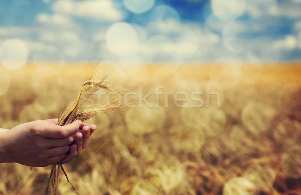 Stock fotó: Gazda · kéz · zöld · búza · felhők · nyár