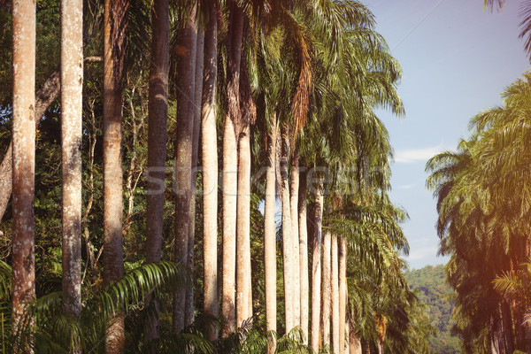 Tall palms Stock photo © Massonforstock