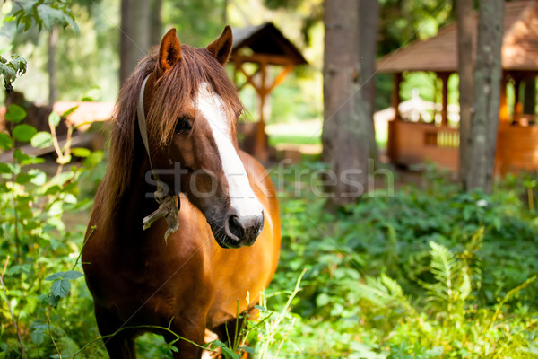 photo of beautiful adult horse standing on the wonderful village Stock photo © Massonforstock