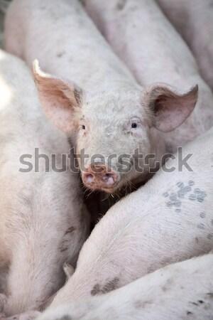 деревне свинья мяса грязи стране профиль Сток-фото © Massonforstock