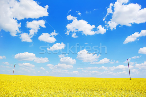 oilseed rapeseed, field  Stock photo © Massonforstock