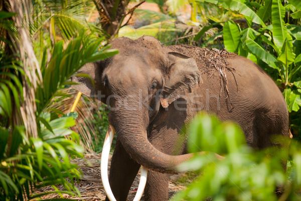 Foto mooie reusachtig olifant exotisch jungle Stockfoto © Massonforstock