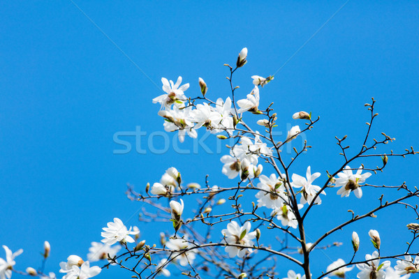 photo of beautiful blooming Myrtaseae  tree  Stock photo © Massonforstock