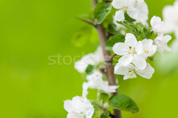 Photo of blossom quince tree  Stock photo © Massonforstock