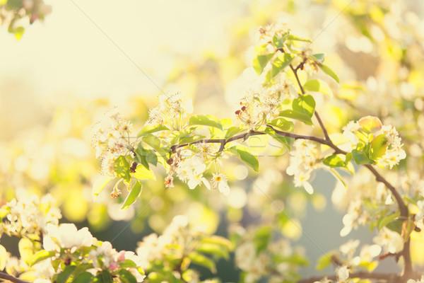 çiçek elma ağacı bahçe bahar zaman ağaç Stok fotoğraf © Massonforstock