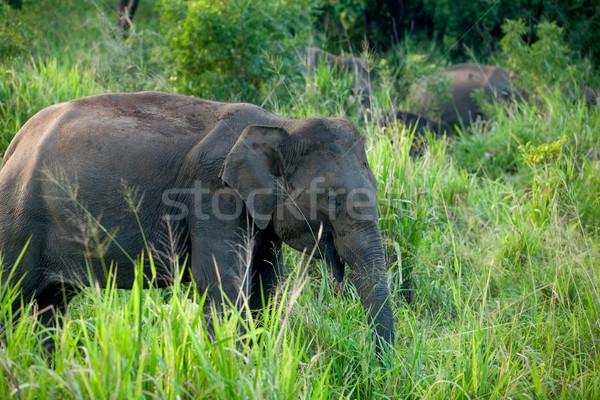 одиноко слон джунгли Шри Ланка острове лес Сток-фото © Massonforstock