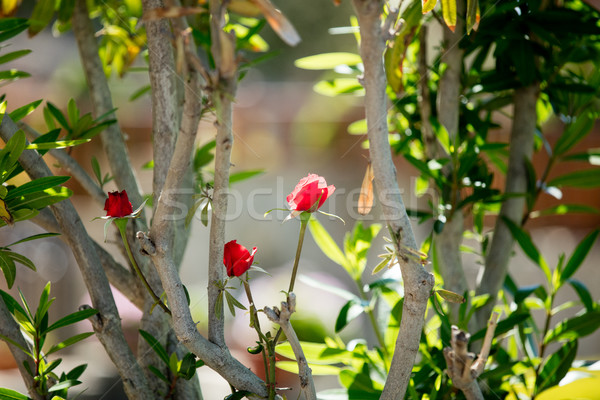 photo of cute red blooming roses on the trees branches nature ba Stock photo © Massonforstock