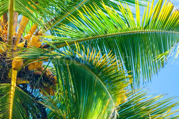 Kókuszpálma kék ég fa levél pálma pihen Stock fotó © Massonforstock