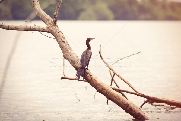 Zwarte reiger vergadering tak rivier Sri Lanka Stockfoto © Massonforstock