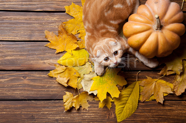 Kitty and pumpkin Stock photo © Massonforstock