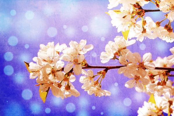 Stok fotoğraf: Beyaz · çiçekler · kiraz · bahar · bahçe · mavi · gökyüzü · gökyüzü