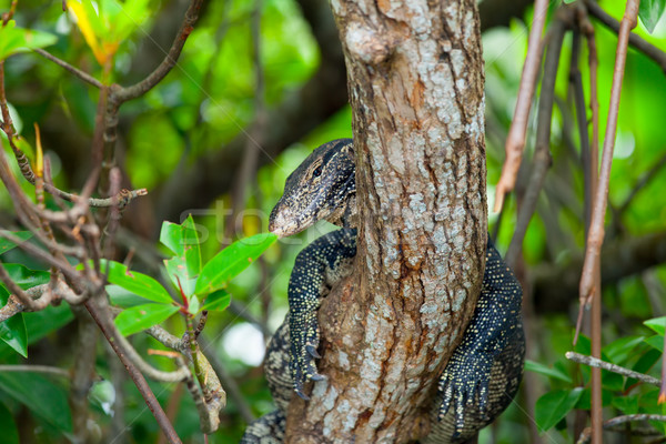 Varanus on a tree Stock photo © Massonforstock