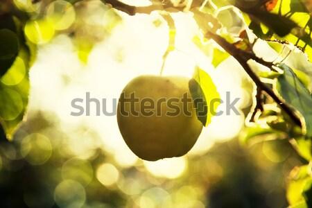 Fruit apples in the light of the sun Stock photo © Massonforstock