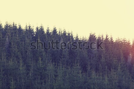 Rejtély hó erdő fenyőfa fa természet Stock fotó © Massonforstock