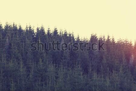 тайна снега лес сосна дерево природы Сток-фото © Massonforstock