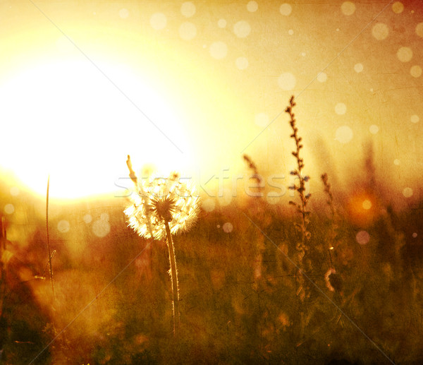 Stock photo: Real field and dandelion at sunset.