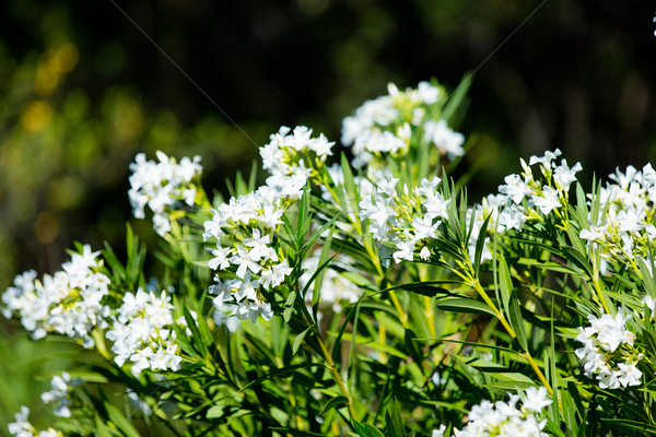 photo of beautiful bush of white flowers on the nature backgroun Stock photo © Massonforstock