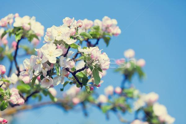 Blossom apple tree in the garden in spring time  Stock photo © Massonforstock