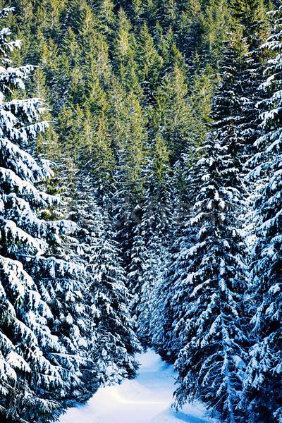 Winter pijnboom bos berg natuur Stockfoto © Massonforstock