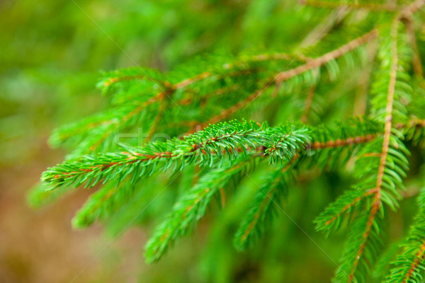 photo of green fur tree branches on other branches background Stock photo © Massonforstock