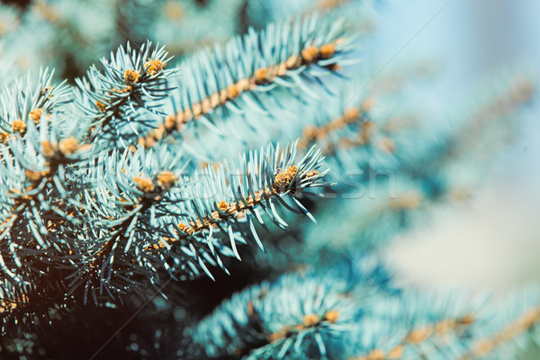 photo of beautiful evergreen branches of wonderful fir-tree Stock photo © Massonforstock