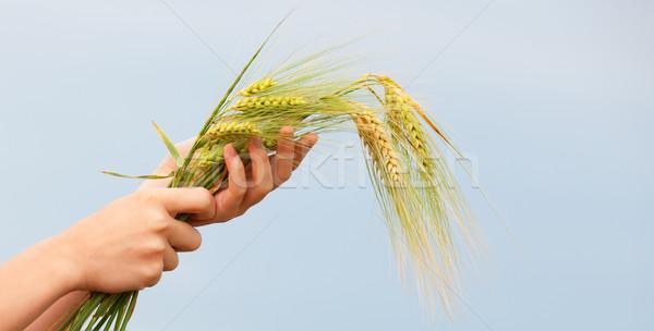 Farmer hand keep green wheat spikelet. Stock photo © Massonforstock