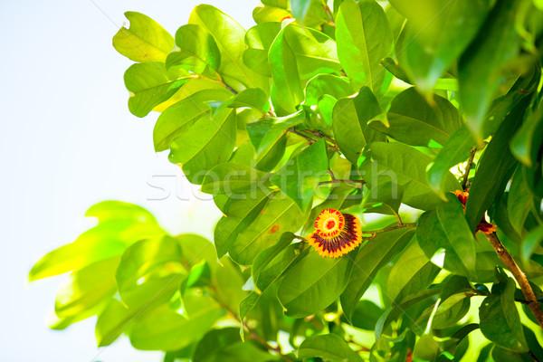 Flor tropical belo árvore flor verão verde Foto stock © Massonforstock