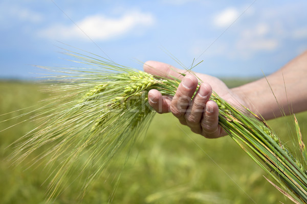 Stock photo: Farmer hand keep green wheat spikelet.