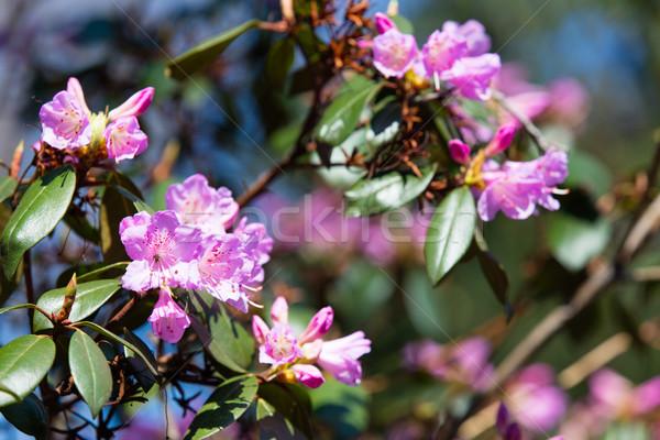 Blossom Rhododendron irroratum tree in spring time in the garden Stock photo © Massonforstock