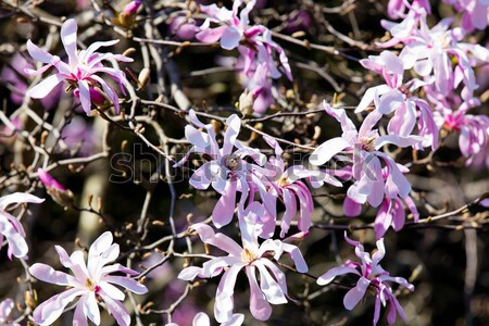 Blossom магнолия дерево весны время саду Сток-фото © Massonforstock