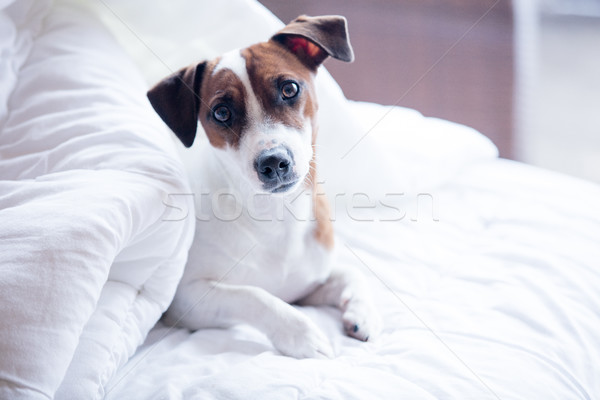 Portrait of a young jack russell terrier in a bed  Stock photo © Massonforstock
