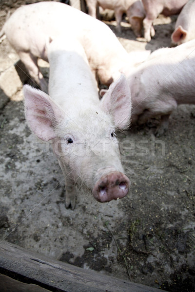Ferme porcs lumière groupe jambes viande Photo stock © Massonforstock