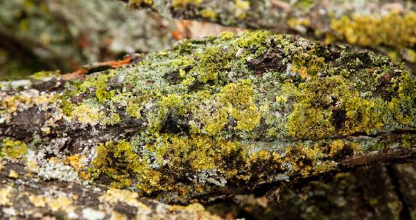 мнение дерево Кора стены природы Сток-фото © Massonforstock